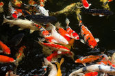 Carps swimming — Stock Photo