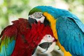 Parrots — Stock Photo