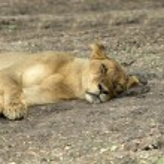 Lioness — Stock Photo #34172145