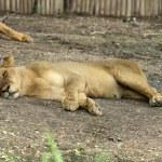 Lioness — Stock Photo #34411601
