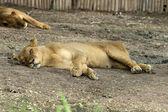 Lwica — Zdjęcie stockowe