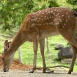 Deer — Stock Photo #35200441