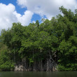 Mangrove trees — Stock Photo #35200639