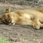 Lioness — Stock Photo #35444641
