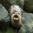 Otter in the Zoo — Stock Photo