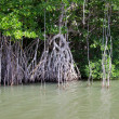 Mangrove trees — Stock Photo #35445533
