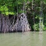 Mangrove trees — Stock Photo
