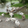 Stock Photo: Pelicans