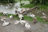 Pelicans — Stockfoto