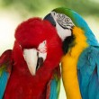 Stock Photo:  Macaws parrots