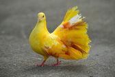 голубь — Стоковое фото