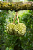Green durian — Stock Photo
