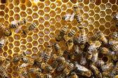 пчелы на honeycells — Стоковое фото