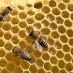 Bees on honeycells — Stock Photo #49812407