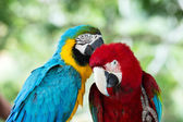 Pair of colorful Macaws parrots — Stock Photo