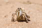 Hermit Crab — Stock Photo