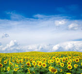 Blooming field of sunflowers — Stock Photo