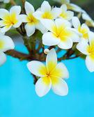 Plumeria květiny — Stock fotografie