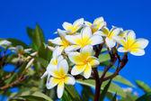 Plumeria kwiaty — Zdjęcie stockowe
