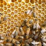 Bees on honeycells — Stock Photo #50846557