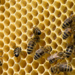 Bees on honeycells — Stock Photo #50846637