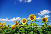 向日葵的字段 — 图库照片