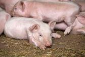 Little piglets  — Stock Photo