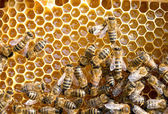 bees on honeycells — Stock Photo