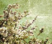 Grunge  cherry flowers     — Stockfoto