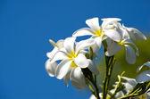 Flores de plumeria — Foto de Stock