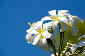 Plumeria flowers  — Stockfoto