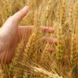 Wheat in hand — Stock Photo