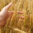 Wheat in hand — Stock Photo #18042999