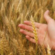 Wheat harvest — Stock Photo #18043275