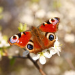 Foto Stock: Butterfly on a apricot flower