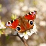 Бабочка на цветке абрикос — Стоковое фото