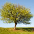 tree green — Stockfoto
