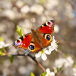 Butterfly on a apricot flower — Foto Stock