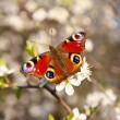 Butterfly on a apricot flower — Stok fotoğraf