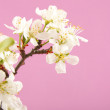 Apricot flower on a pink background — Stock Photo #18043579