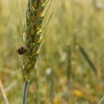 buğday alanında — Stok fotoğraf