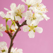 Apricot flower on a pink background — Stock Photo #18043697