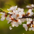 Apricot flowers. Spring scene. — Stock Photo