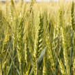 Spikelets of wheat — Stock Photo #18044245