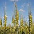 Harvest wheat — Stock Photo #18044353