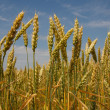 Spikelets of wheat — Stock Photo #18044667