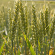 Harvest wheat — Stock Photo #18044689