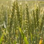 hasat buğday — Stok fotoğraf