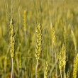 Stock Photo: Harvest wheat