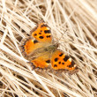 Butterfly on hay — Stock fotografie